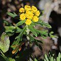 Chrysanthemum rupestre (flower s2).jpg