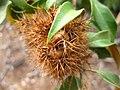 Chrysolepis chrysophylla Burr.JPG