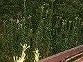 Chwast przy opuszczonym domu na Osiedlowej w Ciechocinku 2007.jpg