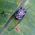 Cicada. Cicadidae. Homoptera. - Flickr - gailhampshire.jpg