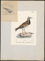Cinclus interpres - 1700-1880 - Print - Iconographia Zoologica - Special Collections University of Amsterdam - UBA01 IZ17300027.tif