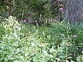 Cinna latifolia (6081035761).jpg