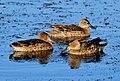 Cinnamon Teal Brood on Seedskadee National Wildlife Refuge (20518587874).jpg