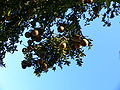 Citrus aurantium chinotto3.jpg