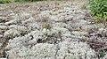 Cladonia portentosa 46542358.jpg