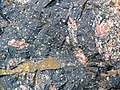 Clast-rich impact pseudotachylite (Sudbury Breccia, Paleoproterozoic, 1.85 Ga; Windy Lake Northwest roadcut, Sudbury Impact Structure, Ontario, Canada) 35 (40773183993).jpg