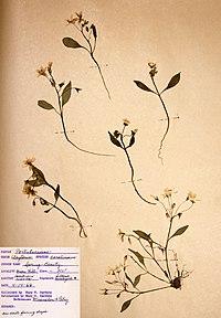 Claytonia caroliniana BW-1966-0414-0917.jpg