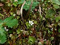 Claytonia perfoliata 38359.JPG