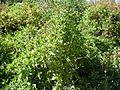 Clematis ligusticifolia (5062277527).jpg