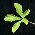 Cleome viscosa L. (AM AK302073-12).jpg