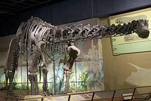 Haplocanthosaurus - Mounted H. delfsi skeleton, Cleveland Museum of Natural History