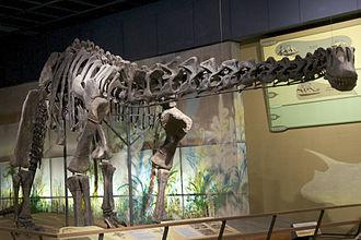 Haplocanthosaurus - Incorrectly mounted H. delfsi skeleton, Cleveland Museum of Natural History