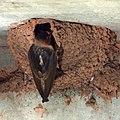Cliff Swallow (5946633988).jpg