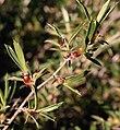 Cliffortia acutifolia Helme 4.jpg