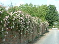 Climbing roses on wall near Little Mynthurst Farm - geograph.org.uk - 25725.jpg