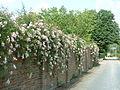 Climbing roses on wall near Little Mynthurst Farm - geograph.org.uk - 25725.jpg