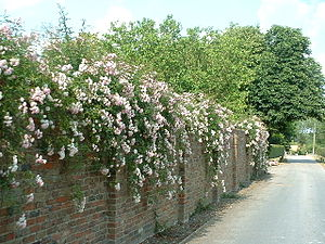 English: Climbing roses on wall near Little My...