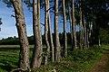 Close-planted trees at Rushford - geograph.org.uk - 267805.jpg