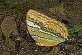 Close wing position of Stichophthalma camadeva Westwood, 1848 – Northern Junglequeen WLB DSC 9917.jpg