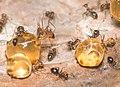 Closeup on honeypot ants (Myrmecocystus mimicus) at Oakland Zoo.jpg