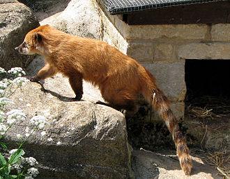 Coati - Image: Coati.arp