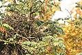 Coccothraustes coccothraustes 05.JPG