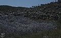 Coccothrinax argentea. Conocarpus front. (38839900342).jpg
