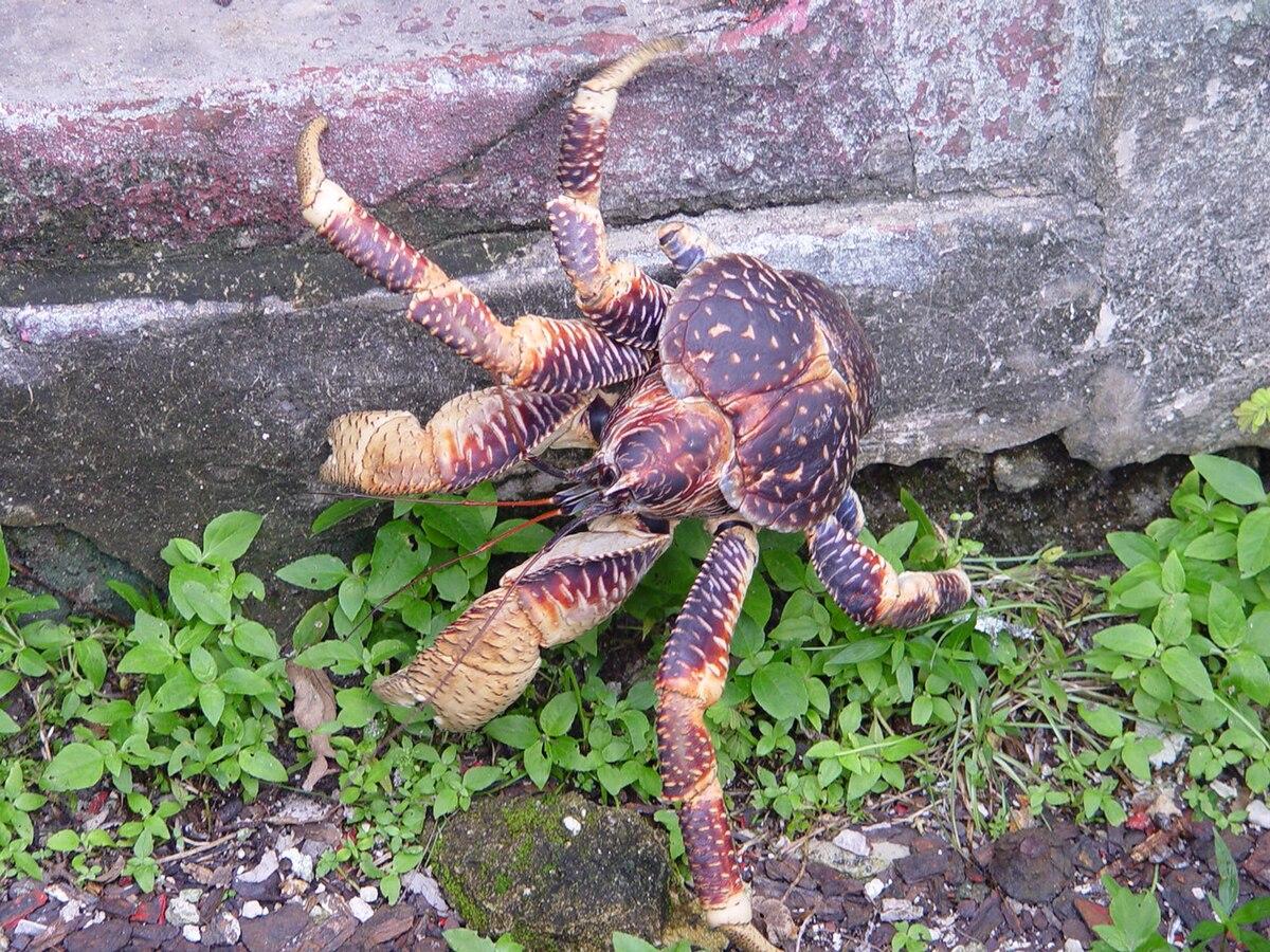 Crabby deutsch