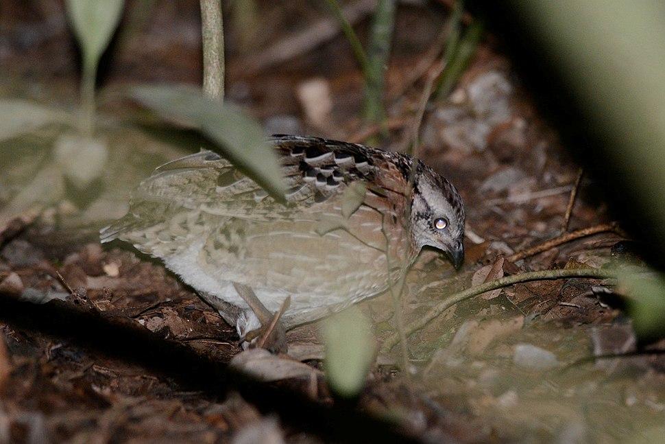 Codorniz Silbadora, Singing Quail, Dactylortyx thoracicus (23387866083)