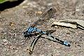 Coenagrionidae (9369851355).jpg