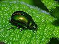 Coleoptera (8067227966).jpg