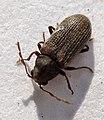 Coleoptera - Anobium punctatum (2718383780).jpg