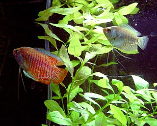 Dwarf gourami species of fish, large, lives 4-6 years, 6 inches long