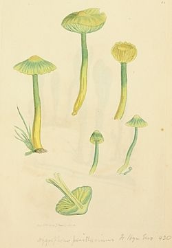 Coloured Figures of English Fungi or Mushrooms - t. 82.jpg