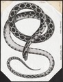 Coluber hippocrepis - 1700-1880 - Print - Iconographia Zoologica - Special Collections University of Amsterdam - UBA01 IZ12100181.tif