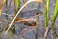 Columbia spotted frog profile (Rana luteiventris) (9085e21e-77d3-4ae0-b414-abb9f0225b0b).jpg