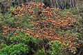 Combretum spec Bolivia habit.jpg