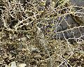 Commiphora simplicifolia, Fata Morgana Greenhouse 2.jpg