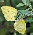 Common Grass Yellow (Eurema hecabe) mating in Narshapur, AP W IMG 0776.jpg