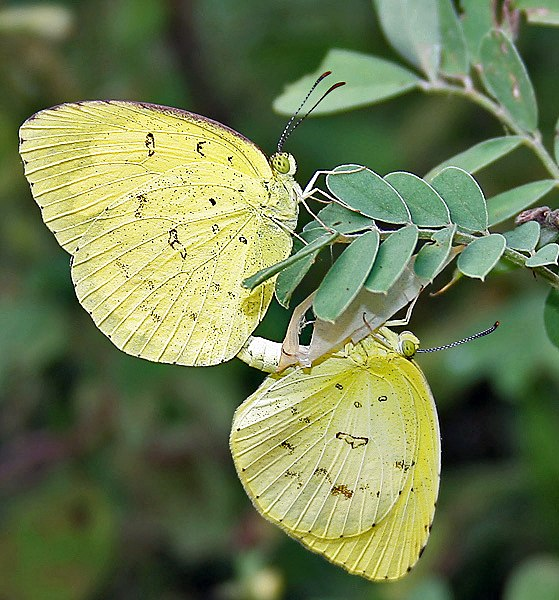Common Grass Yellow (Eurema hecabe) mating in Narshapur, AP W IMG 0776