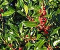 Common Holly (Ilex aquifolium) - geograph.org.uk - 1605818.jpg
