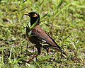 Common Myna (Acridotheres tristis) - Flickr - Lip Kee (2).jpg