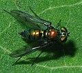Condylostylus sp SERC 06-06-15 0868 (19085162025).jpg