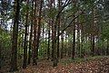 Conifers in Saxon Wood - geograph.org.uk - 2186819.jpg