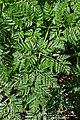 Conium maculatum leaf (08).jpg