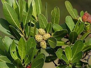 Conocarpus - Conocarpus erectus