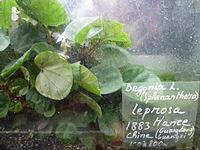 Conservatoire du bégonia 2015. Begonia leprosa.JPG