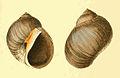 Conuber sordidum Zoological Illustrations Volume II Plate 79.jpg