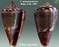 Conus antoniomonteiroi 3.jpg