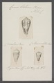 Conus boeticus - - Print - Iconographia Zoologica - Special Collections University of Amsterdam - UBAINV0274 086 06 0007.tif